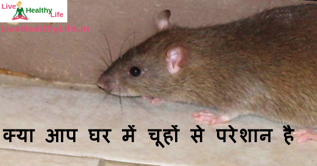 best home remedies to get rid of rats easily